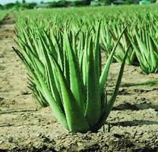 Aloe Vera geelid (95-98% puhas Aloe Vera)